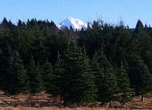 My phone captured Mt. Hood peeking above the tree farm trees.