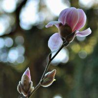 Laurelhurst buds
