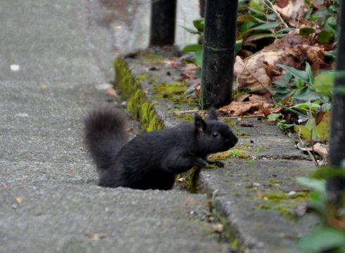 When the Crazy Squirrel Lady travels, she notices the foreign squirrels. This handsome black critter caught my eye.