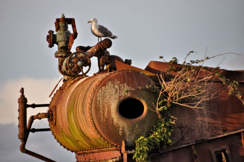 Seagull on an old boiler from the seaside fish processing days.