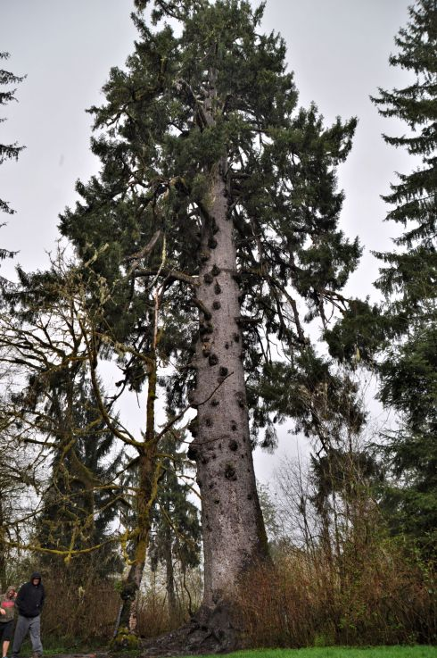 The World's largest Sitka Spruce. 58 feet 11 inches in circumference, 191 feet tall, approximately 1,000 years old.