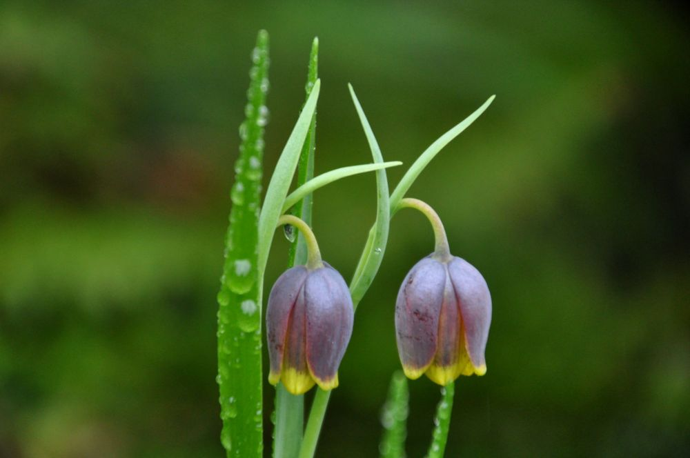 Delicate twins. Beds of Flowers are often raised, making close-ups of tiny, ground-hugging flowers easier.