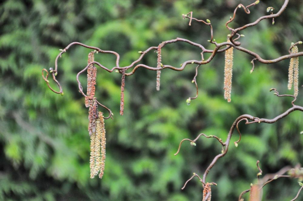 Twisty branch of Corylus with catkins