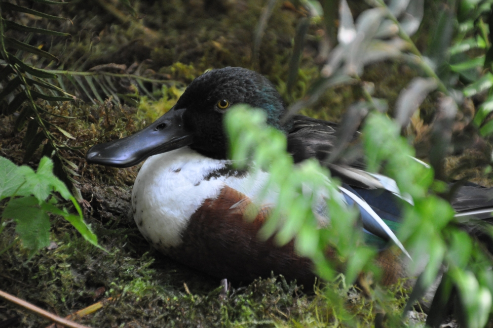 A Northern Shoveler trying to find a nap spot away from the eager crowds.