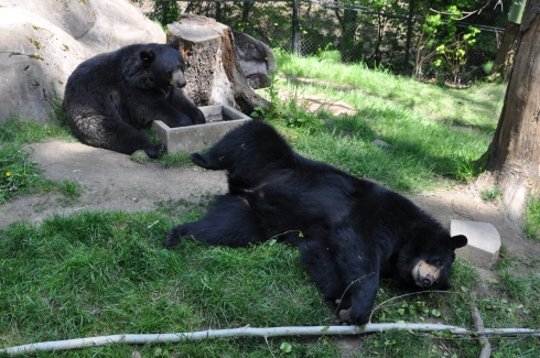 The bears were fun to watch. One played in a water trough for awhile, one rolled around on the ground playing with a branch, and a third napped in the background.