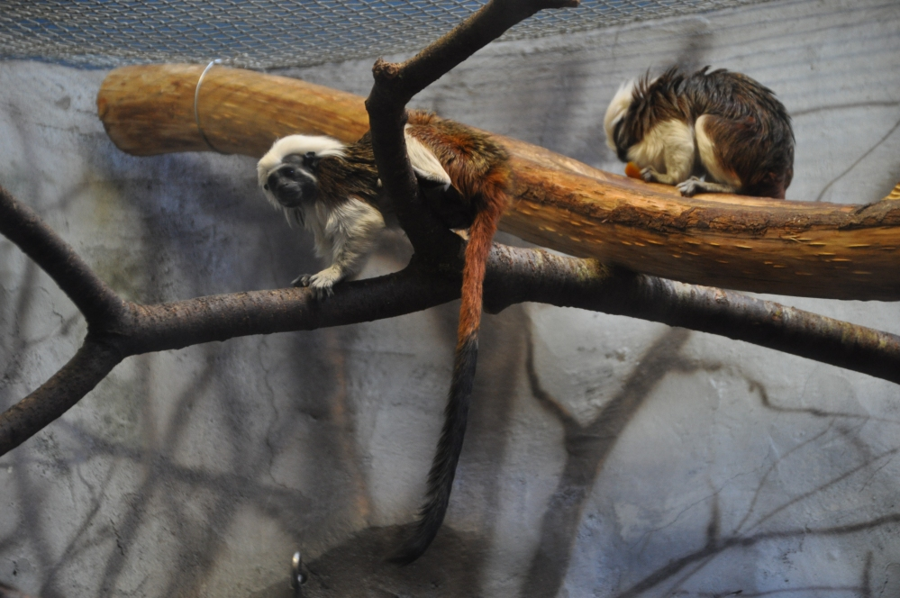 These spirited Cotton-top Tamarins were leaping around and entertaining us.