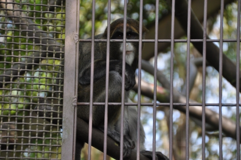 DeBrazza's Monkey gazes out at me from behind bars.