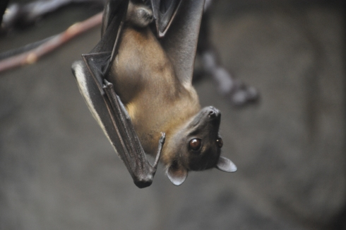 An Egyptian fruit bat. Gosh they are so beautiful I just want to cuddle. I love bats.