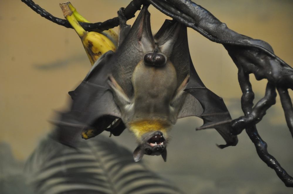 Straw-coloured fruit bat seems to be cackling with glee. Perhaps he is particularly big fan of bananas for lunch.