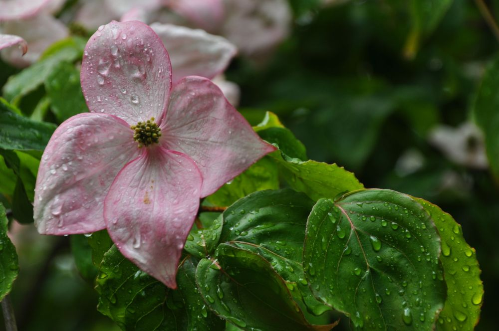Dogwoods were blooming too!