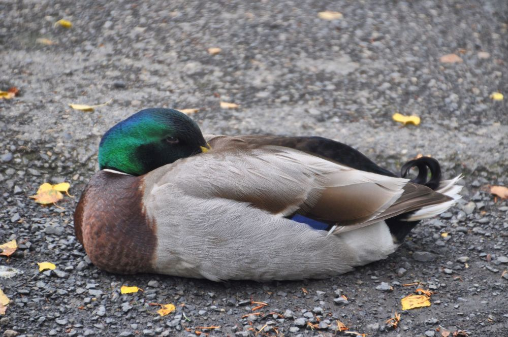 A Mallard copies the pose of the wood duck.