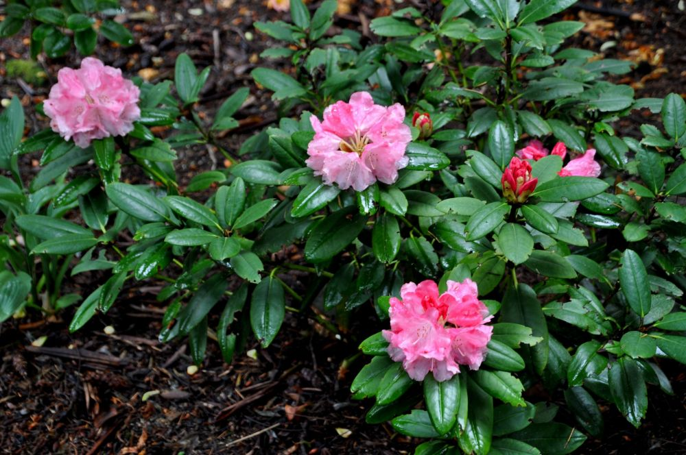This shade of pink seems to be the most common, and is the colour I most frequently find in the wild.