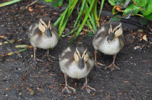 Babies!! They came bobbling after us, hoping for treats. Mom and dad Mallard hovered nearby.
