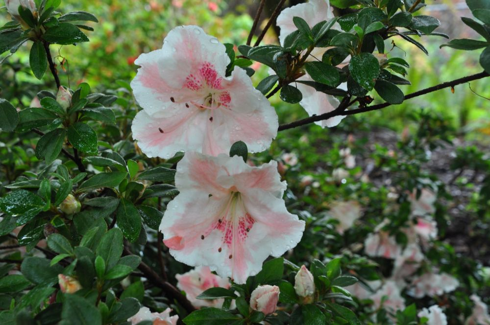 The ostentatious blossoms are individually gorgeous, and when grown in bunches, inspiring.