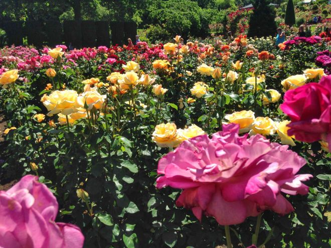 Most of the roses were as tall as we were, and the blossoms were nose-height: perfect.