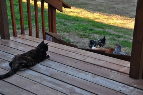 "Racecar prefers to be separated from the chickens. (You see my cardboard ""fence"" to keep them off the deck.)"