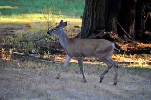 Look at how pretty this Black-tailed deer is.