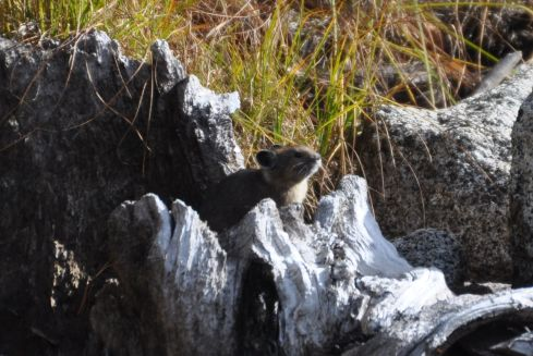 Another pika. Cuteness.
