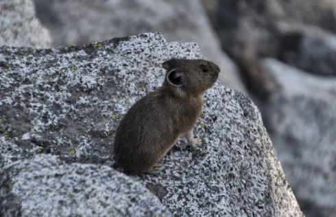 A pika holds still and poses for me.
