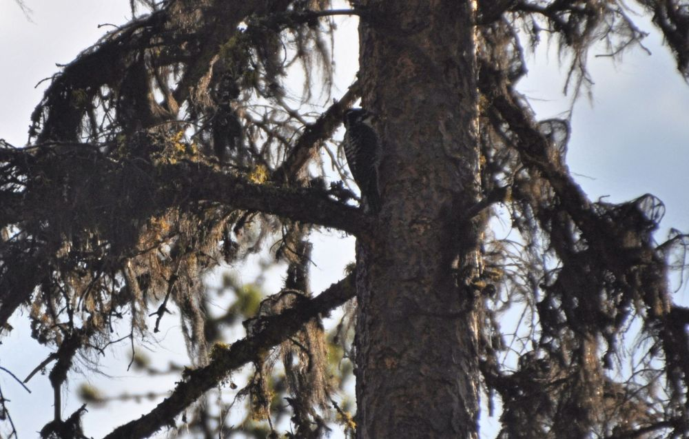 A woodpecker pecks only on the shaded side of the tree - specifically to thwart my photography efforts.