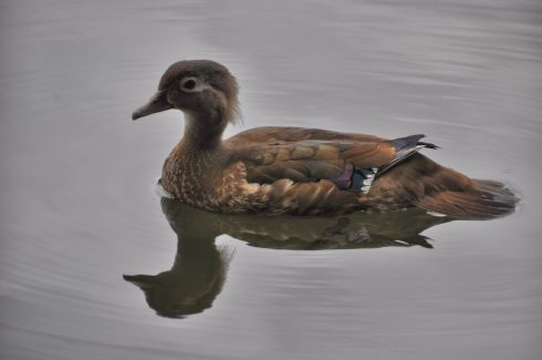 A duck in the Rhododendron garden.