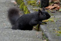 This black squirrel was in Vancouver, BC