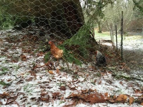 Chicken hussies were not phased by their first snow, and treated it as they do everything: tasting it. Snow proved edible, and they spent all morning eating it.