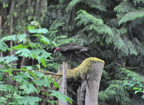 Vulture in the forest.