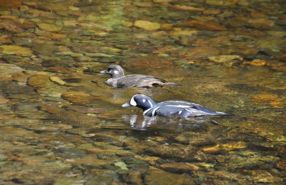Harlequin Ducks along the river