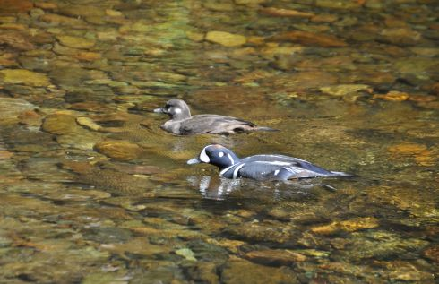 Harlequin Ducks along the river