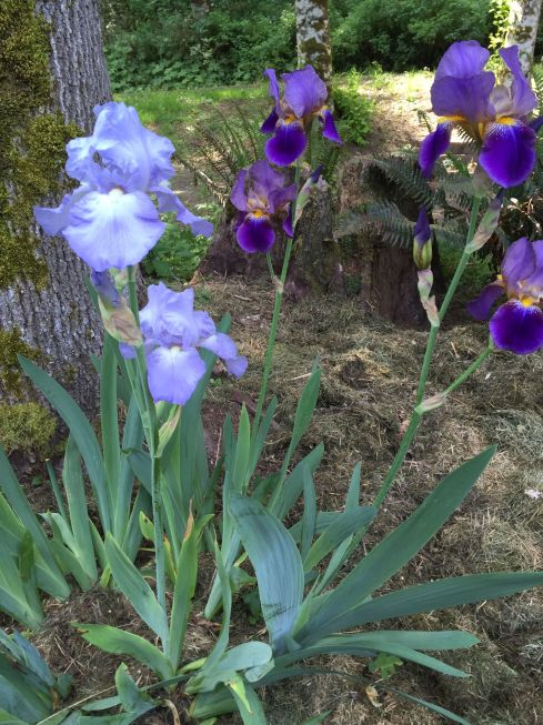 Light blue irises from the Morrison House, and purple Irises from Mom.