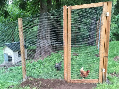 Jailed hens