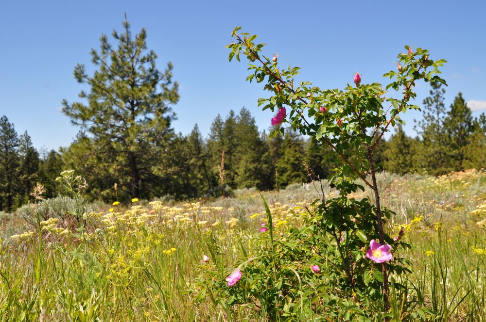 Wild roses blooming