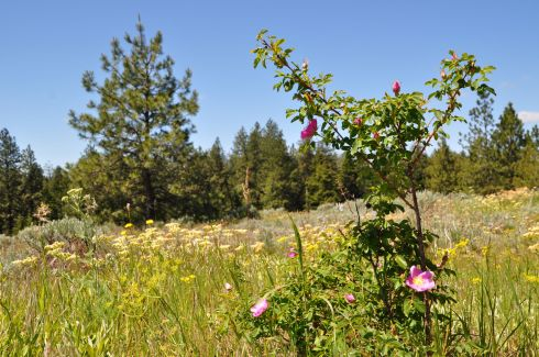 Wild roses blooming