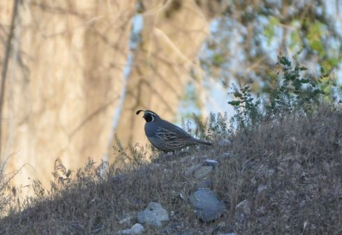 Another quail. So photogenic I can't help myself.
