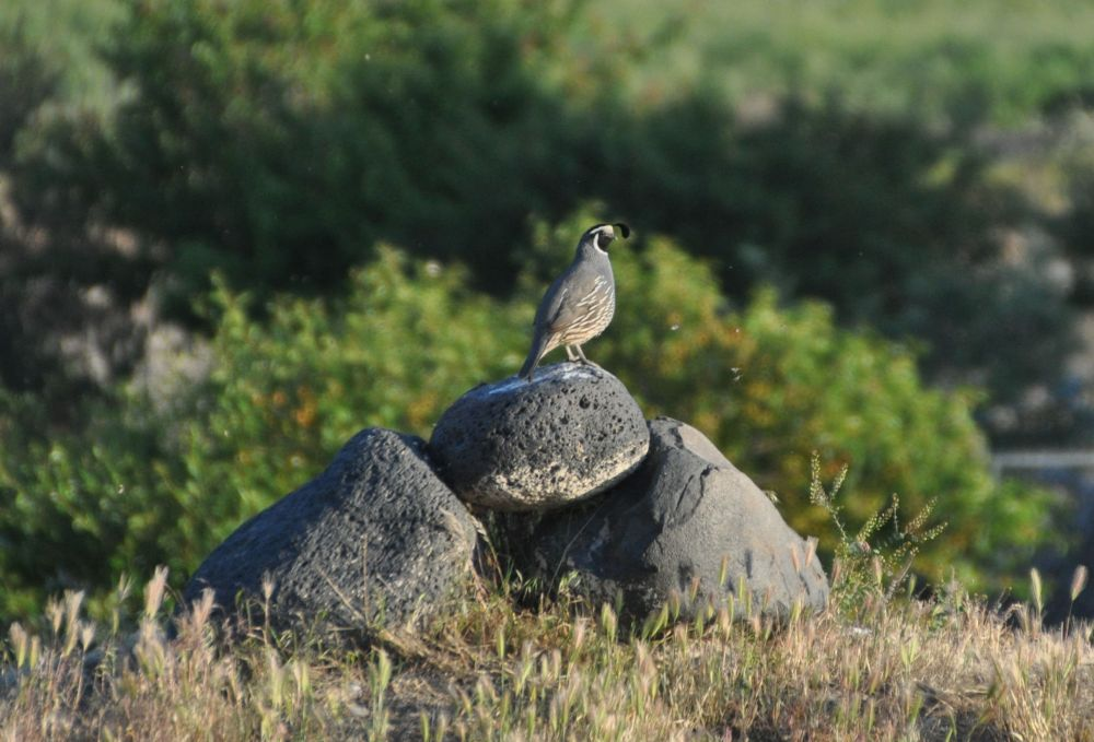 This quail perches on this particular pile of rocks nearly every night.