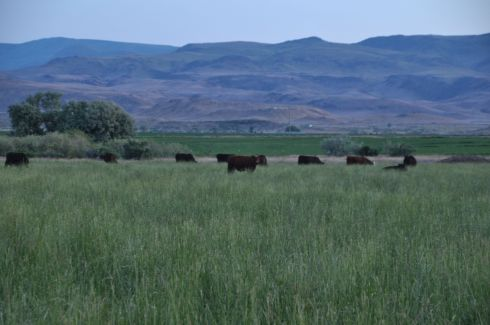 Cows graze in the evening, as the hills turn purple.