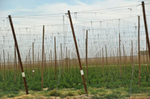 Fields of hops in the valley. The source of so much brewed goodness.