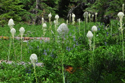 Bear grass was everywhere!