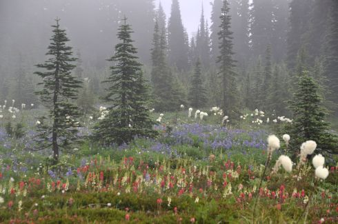 Indian Paintbrush, Lupine, and Bear Grass blossom profusely.