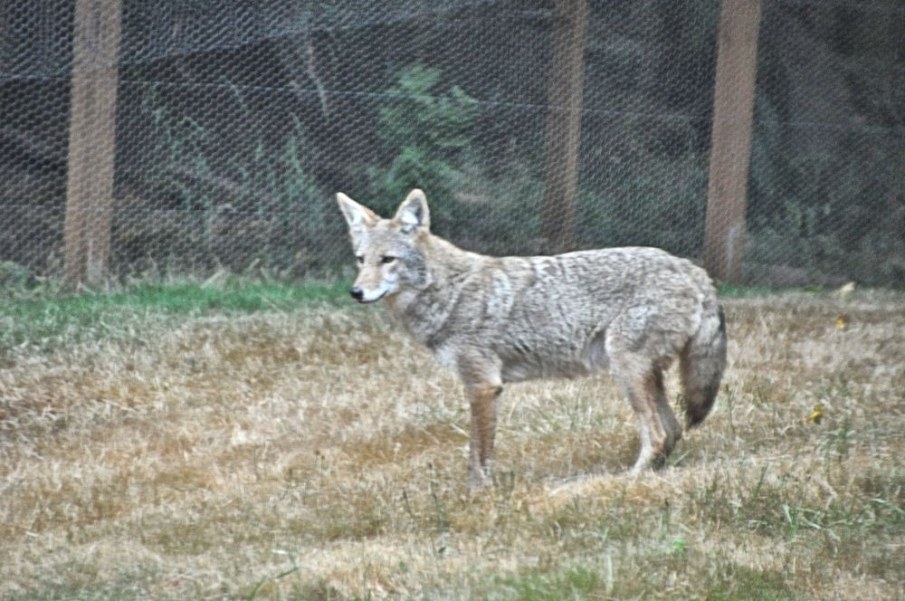"I know I should be upset about the coyote, but instead I was thinking, ""It's so pretty!"""