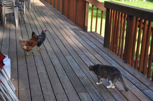 Thomas is wary of the freshly escaped chickens. (Don't worry, they are back in their pen.)