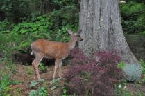 The mellow deer, eating from my garden.