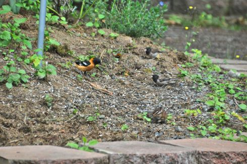 Beneath the bird feeder I've collected two Juncos, a Black-headed Grosbeak, and a chipmunk.