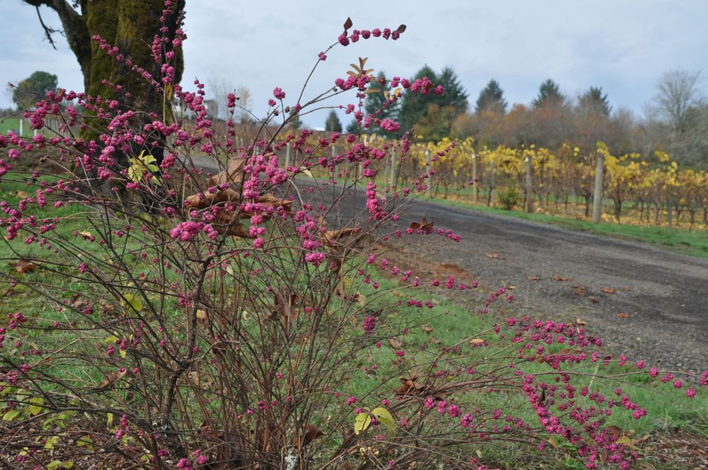 Autumn-yellow leaves on some of the Apolloni vines.