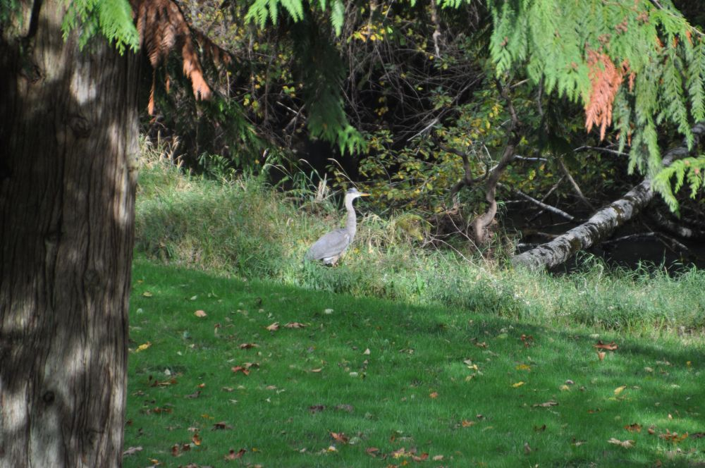I have yet to get a close up photo of this remarkable fellow, who is attracted to my pond for fish reasons.