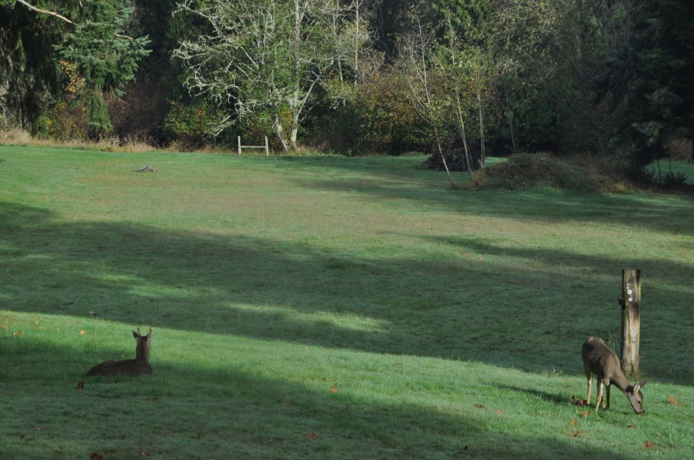 Then he napped in the grass. It warms my soul that these deer feel comfortable sleeping here.