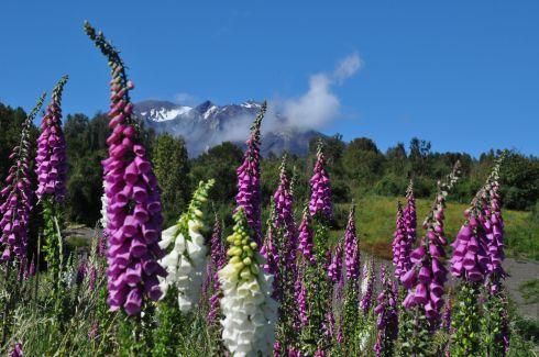 Volcano Calbuco behind flourishing foxglove.