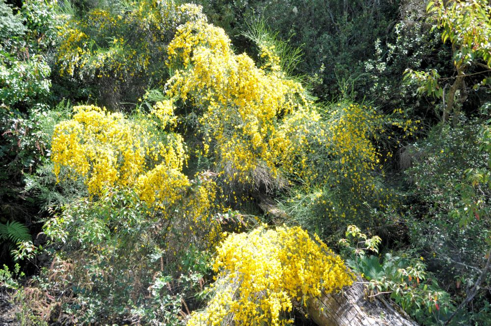 Scotch broom bursting in bloom at the lakeshore.