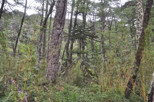 Forest on the way to Laguna Del Toro. These are Monkey Tail (Araucaria) trees growing wild!